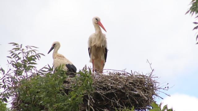 Bayeux. Un nid de cigognes installé aux portes de la ville