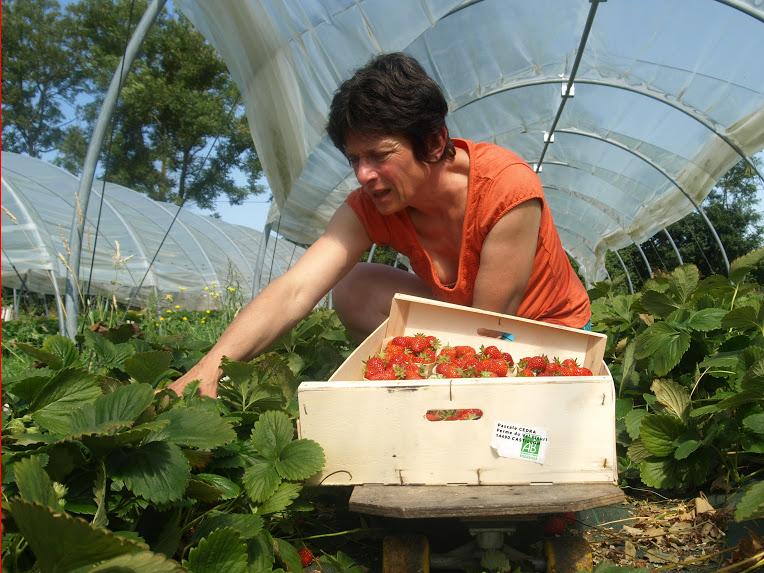 recolte-fraises-bayeux